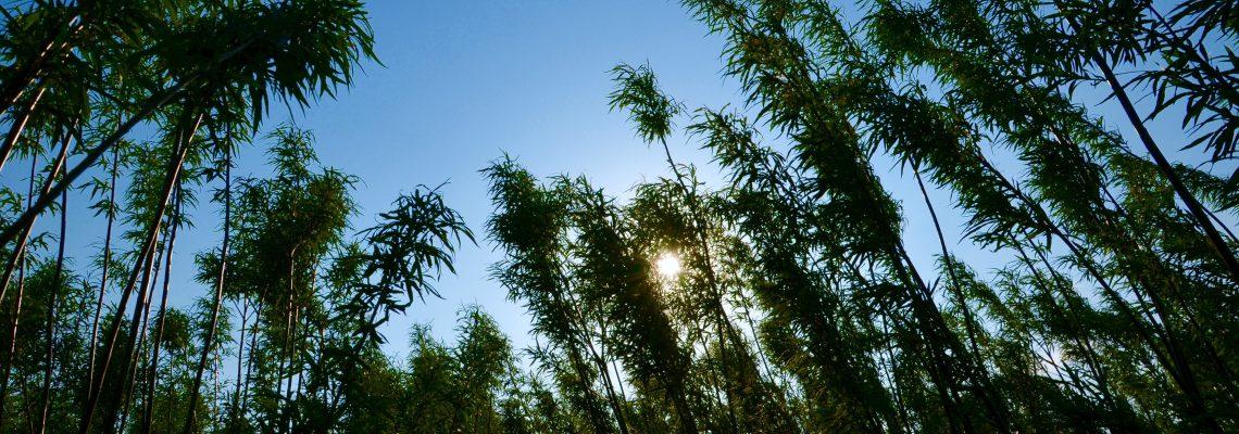 Salix himmel